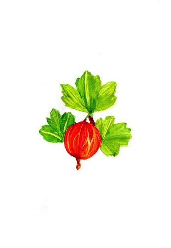 1385-gooseberry-1