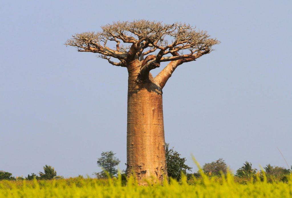 Je l'ai eu le Baobab!